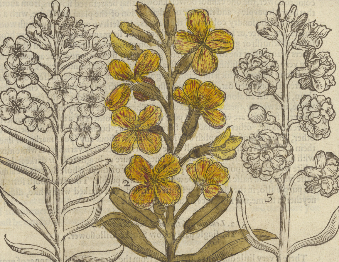 Illustration of three flowers, the middle one hand-colored yellow, from Folger STC 19300 Copy 1.