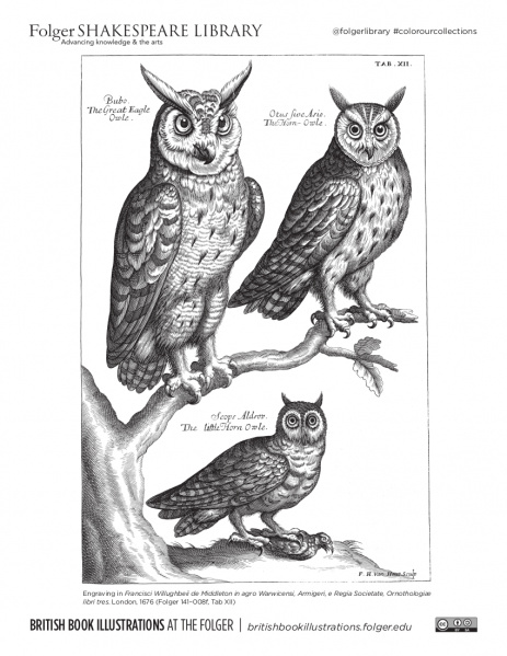 Coloring page from an engraving of three owls perched on branches, one with a bird in its talons, from Folger 141- 008f.